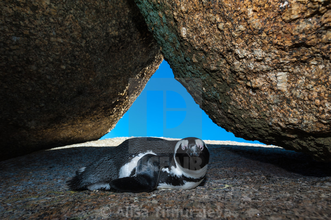 """""""Winking African penguin."""" stock image"""