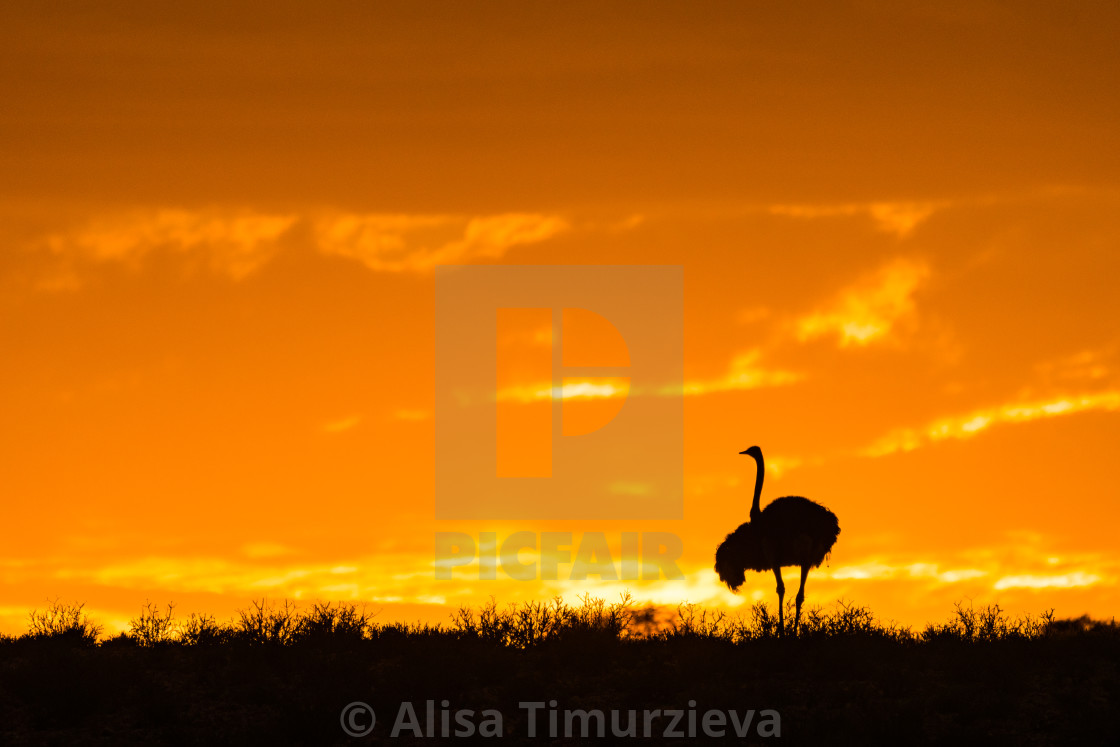 """""""Ostrich silhouette against the orange sky"""" stock image"""