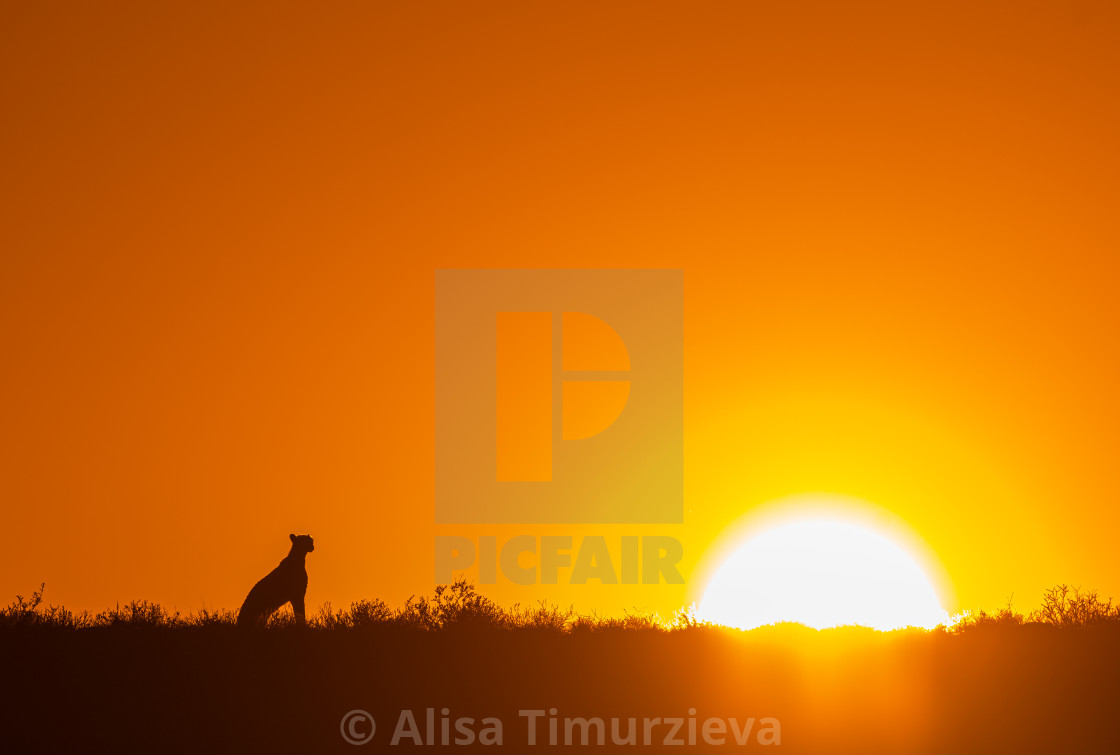 """Cheetah looking at the rising Sun."" stock image"