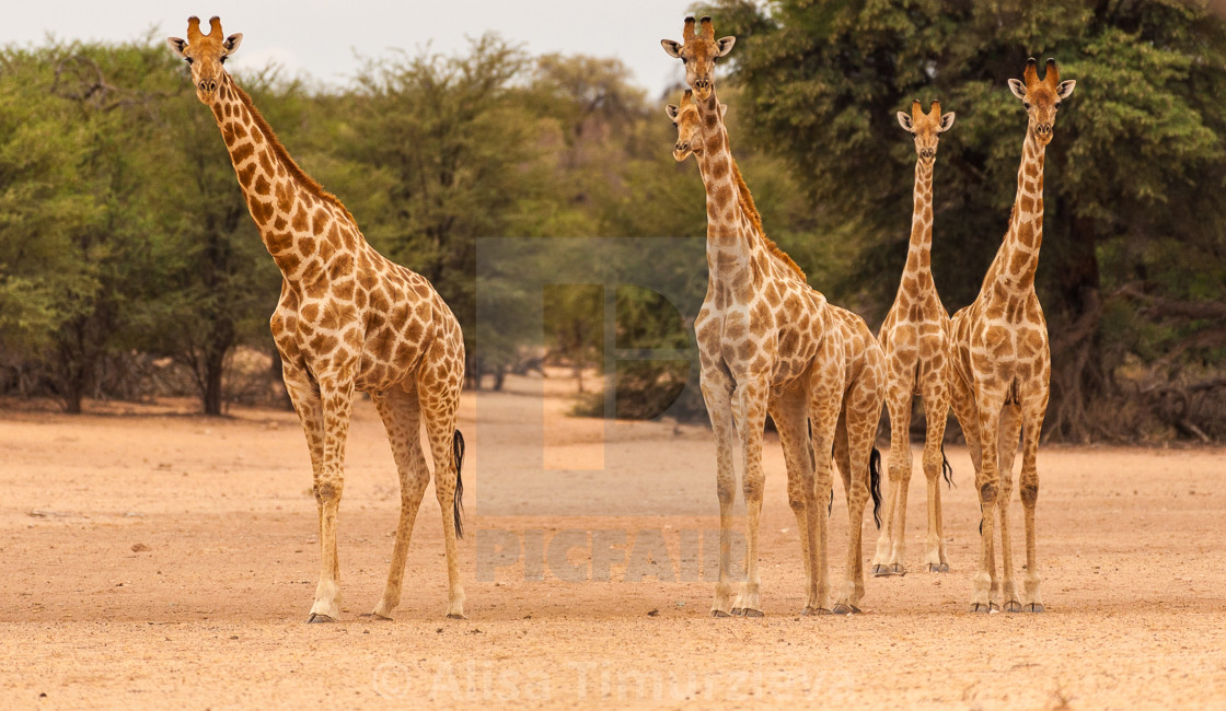 """A group of giraffes giving a surprised look"" stock image"
