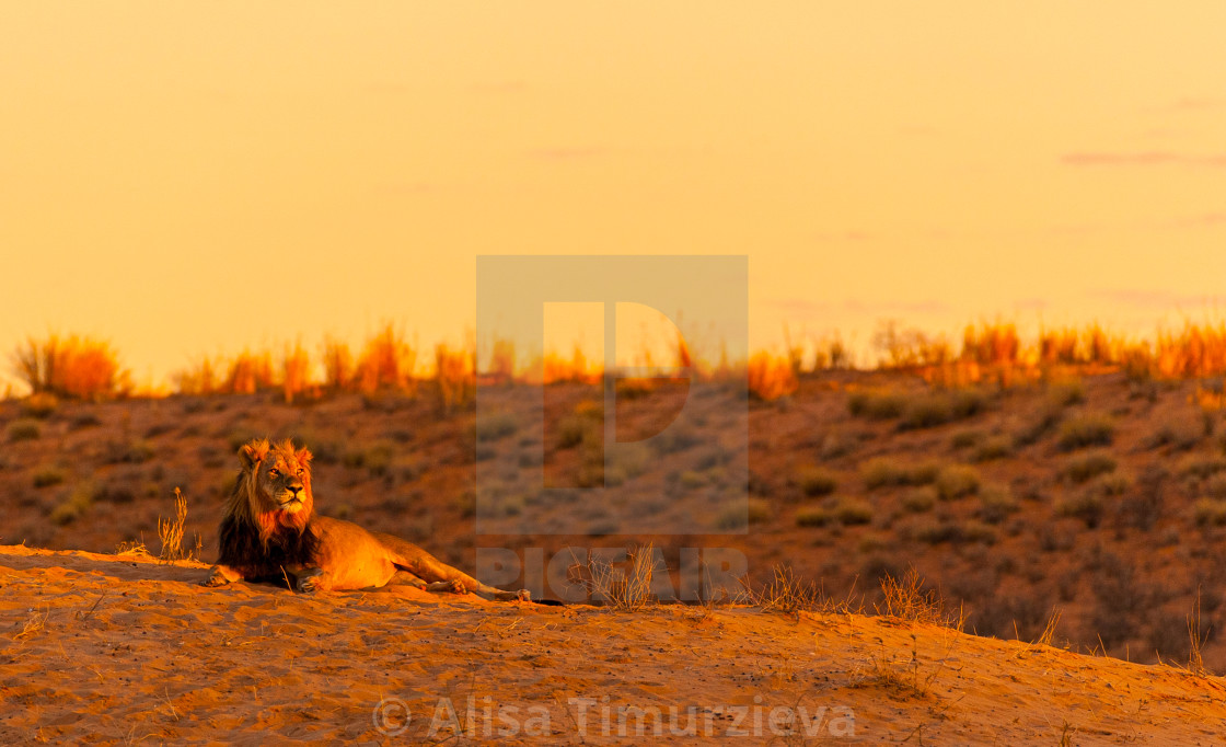 """""""Lion on the sand dune"""" stock image"""