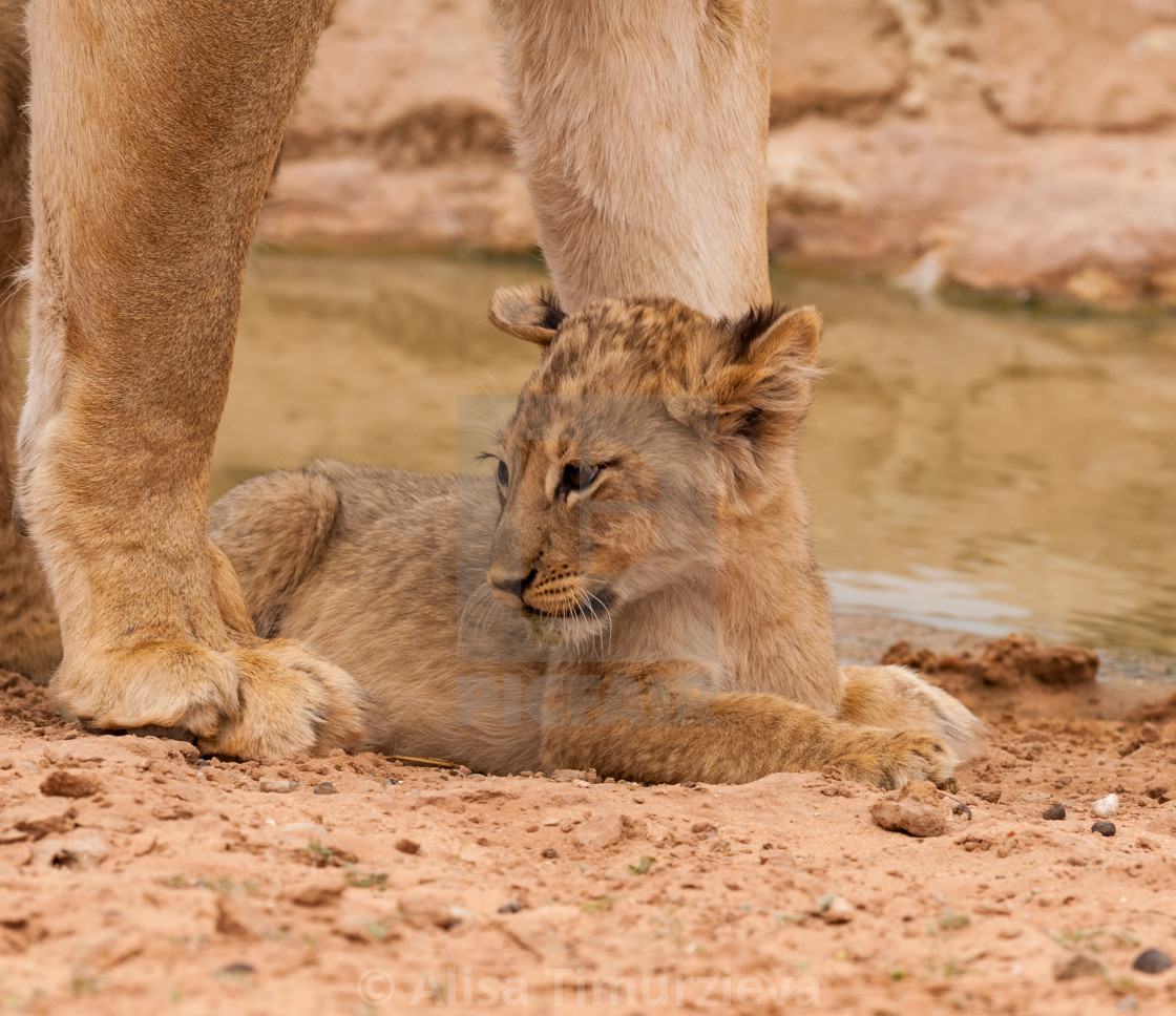 """""""Lion cub at mother's feet"""" stock image"""