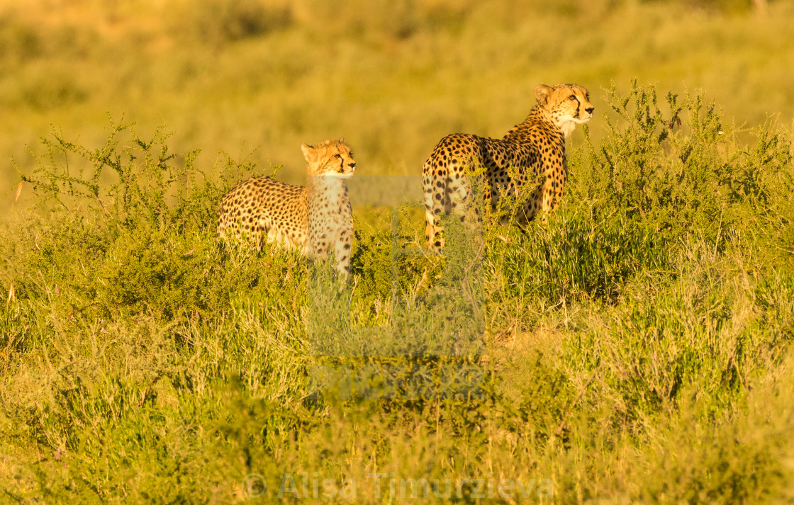 """A mother cheetah with a cub"" stock image"