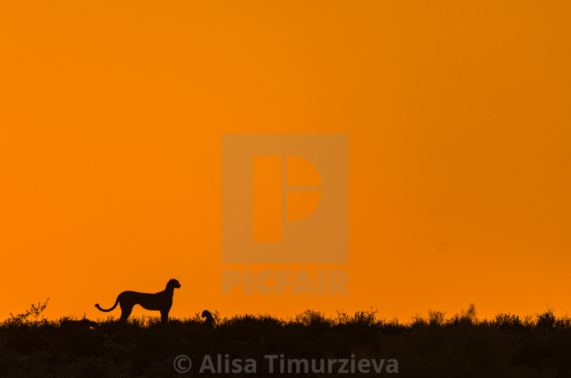 """A cheetah and a cub"" stock image"