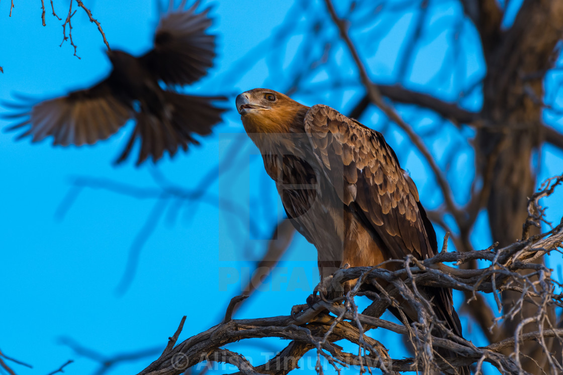 """""""Raptor attacked by drongo"""" stock image"""