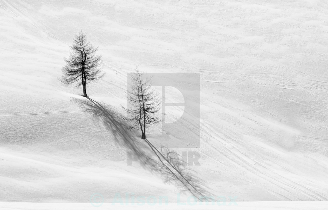 """Larch trees in snow"" stock image"