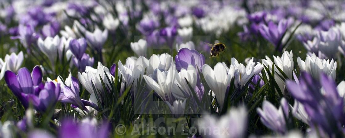 """Bee in spring crocuses"" stock image"