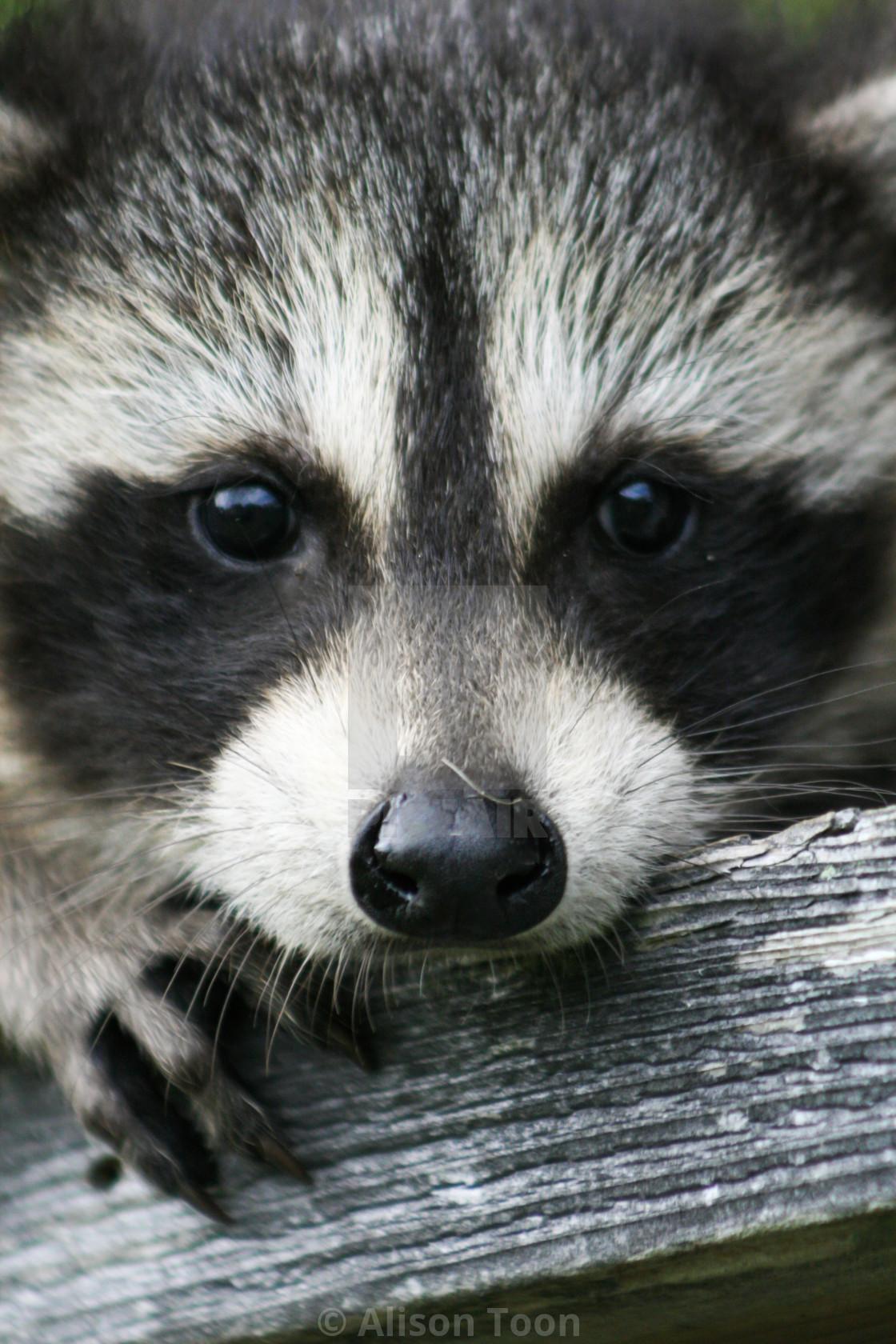 """Baby raccoon ventures from nest"" stock image"
