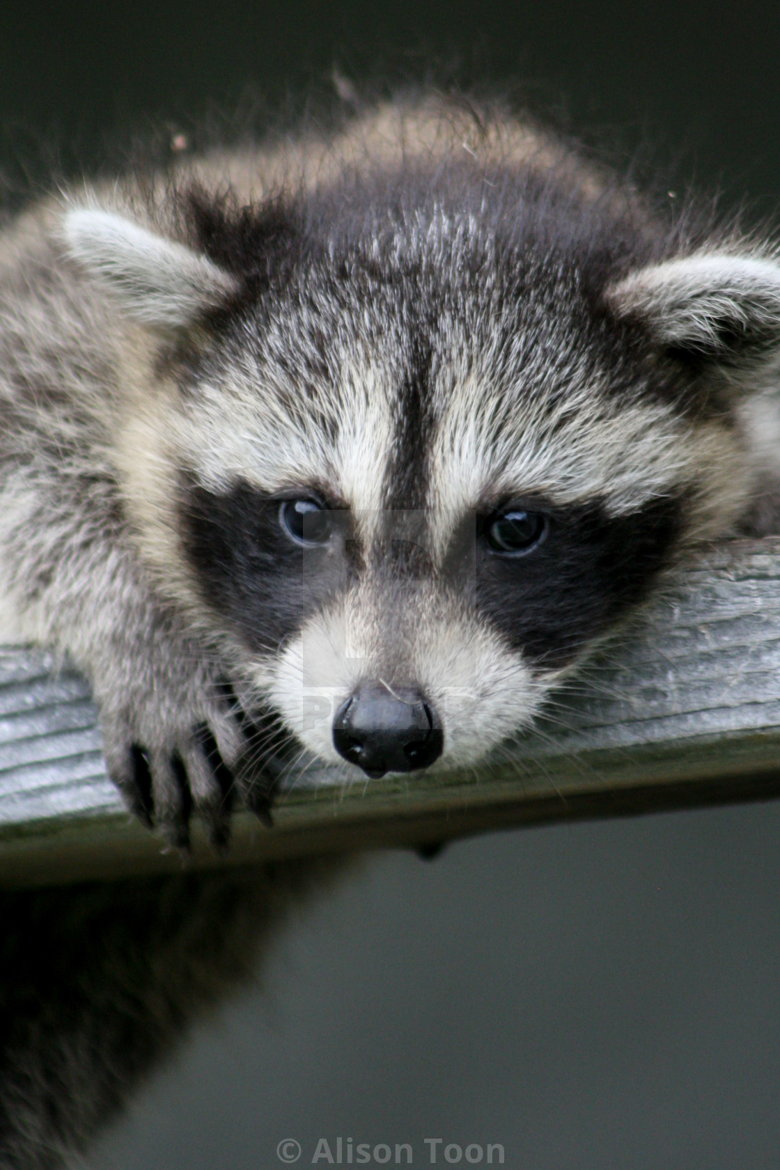 """Baby raccoon ventures from nest"" stock image"