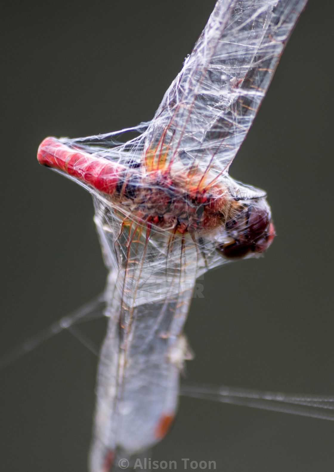 """Dragonfly caught in cobweb"" stock image"