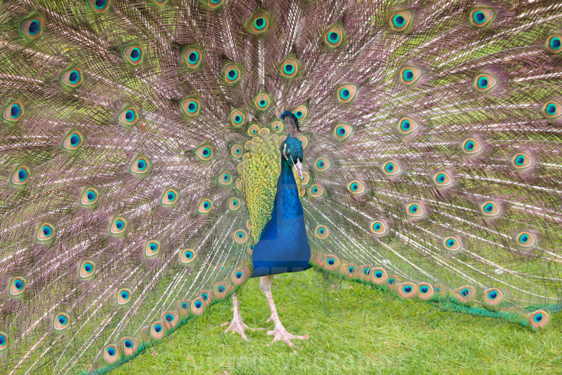 """Holland Park Peacock"" stock image"