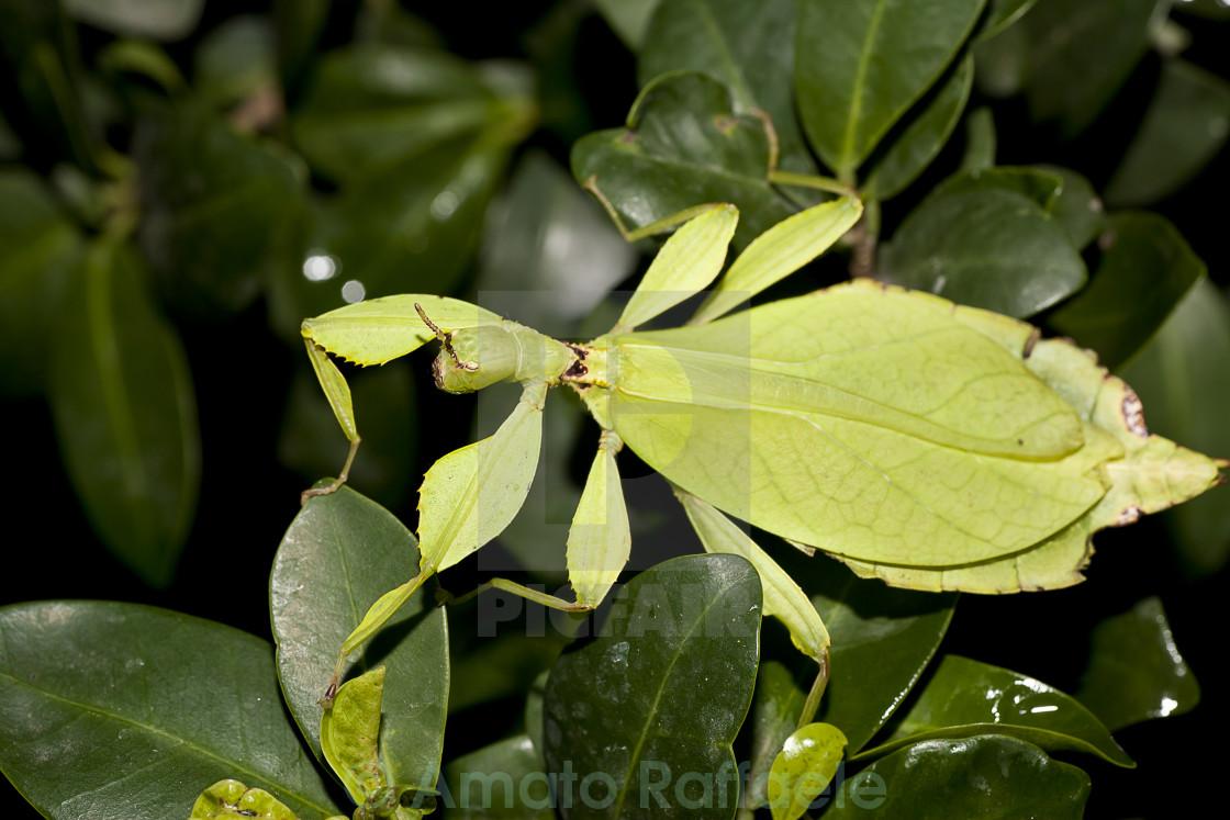 """""""Phyllium philippinicum female"""" stock image"""