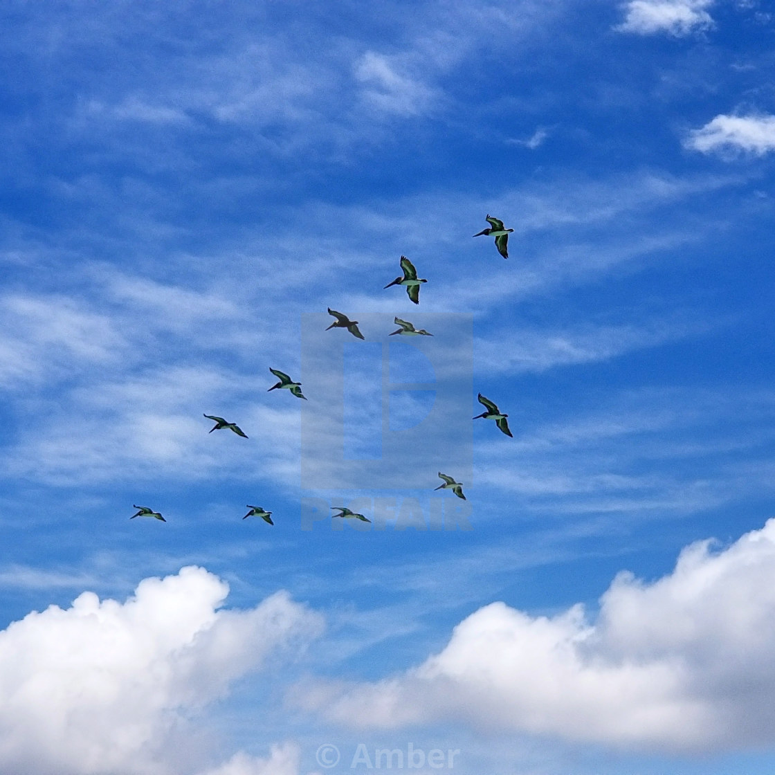 """""""Pelicans on the blue sky"""" stock image"""
