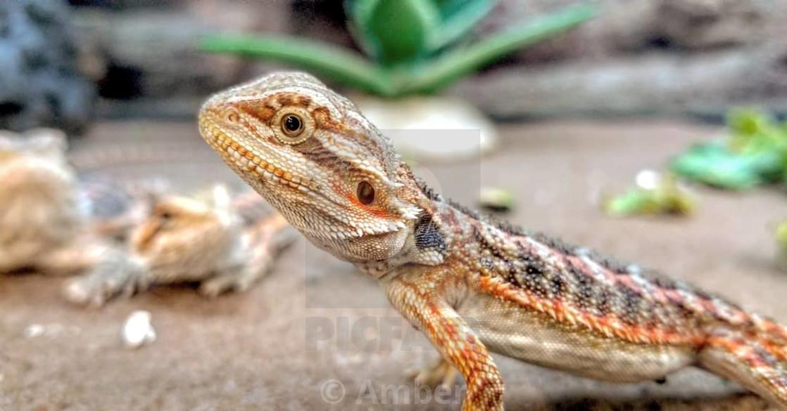 """Beautiful lizard"" stock image"