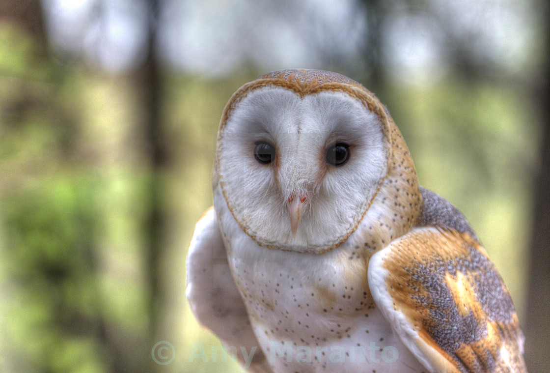 """Barn Owl Portrait"" stock image"