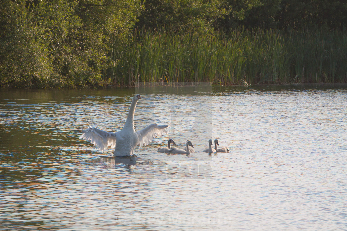 """Swans in the Evening"" stock image"