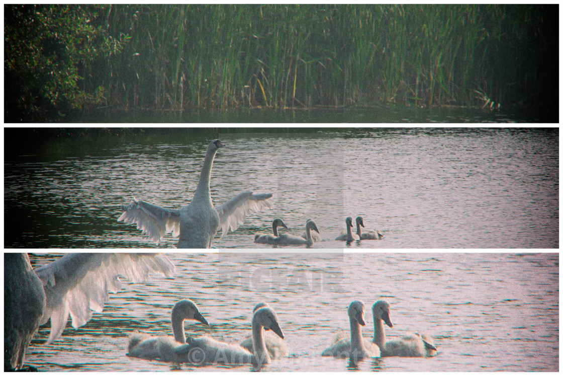 """Swan Triptych"" stock image"