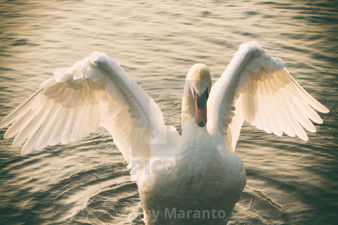 """Swan On a Summer Evening"" stock image"