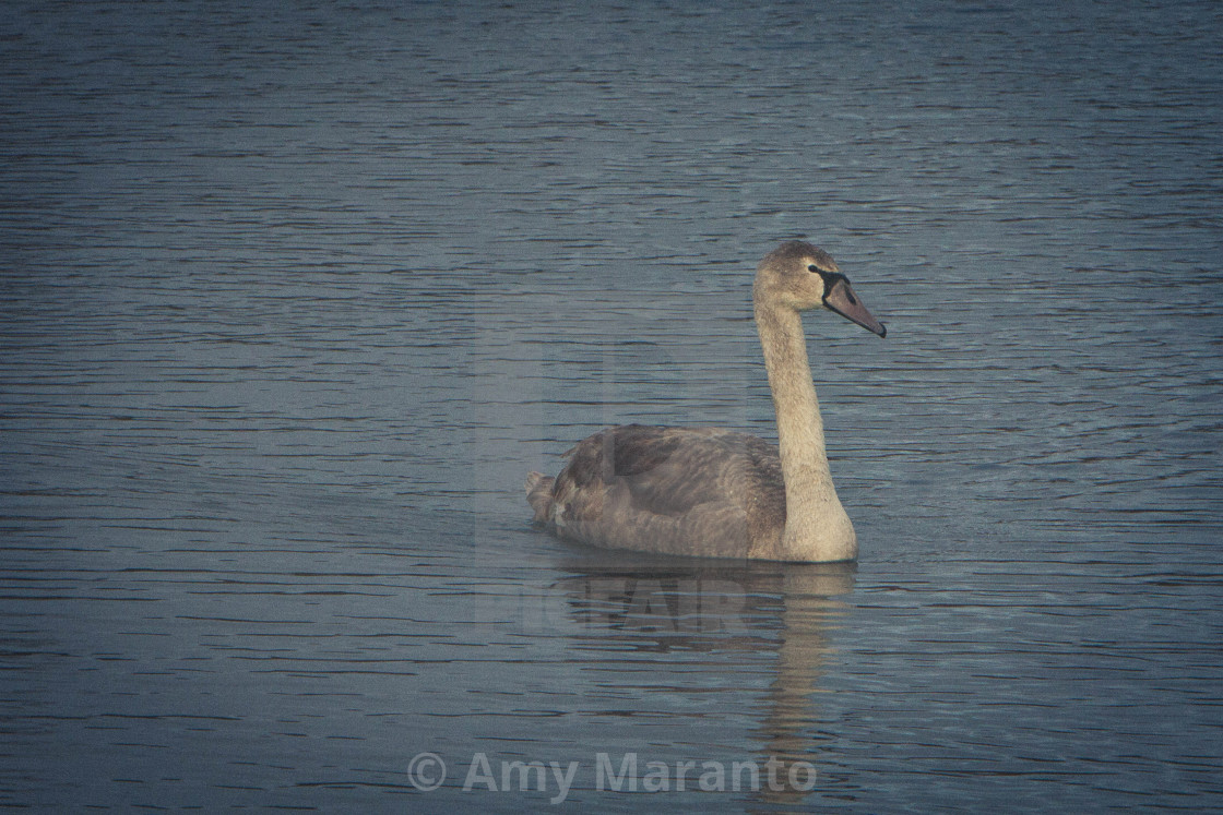 """""""Young Swan"""" stock image"""