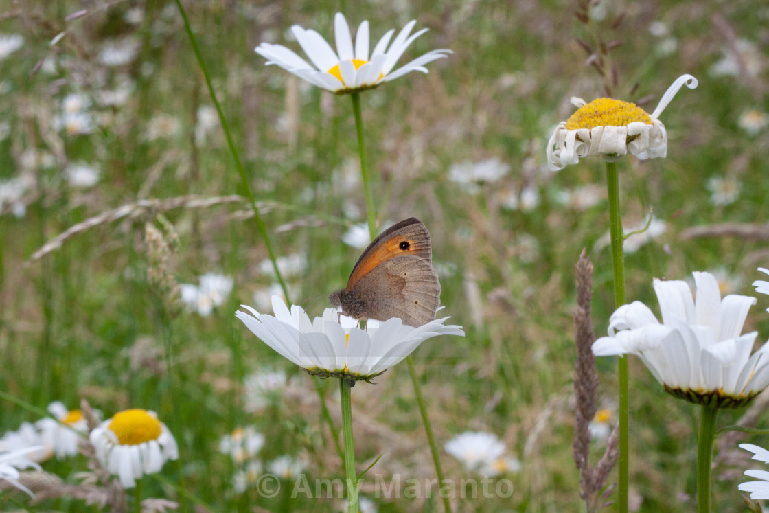 """""""Summer Meadow"""" stock image"""