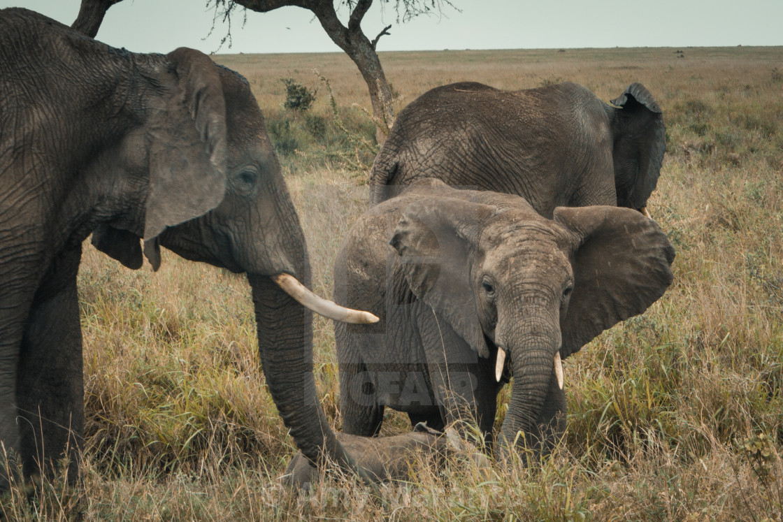 """Small Elephant Family"" stock image"