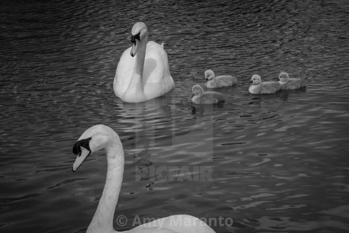 """""""Swan Family in black and white"""" stock image"""