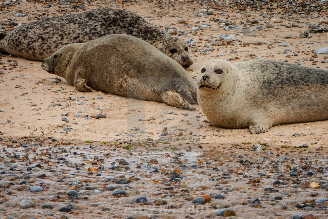"""""""Common Seals on the Beach"""" stock image"""