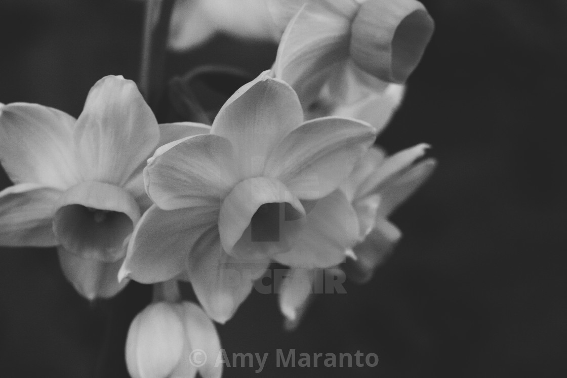"""""""Daffodils in Black and White"""" stock image"""