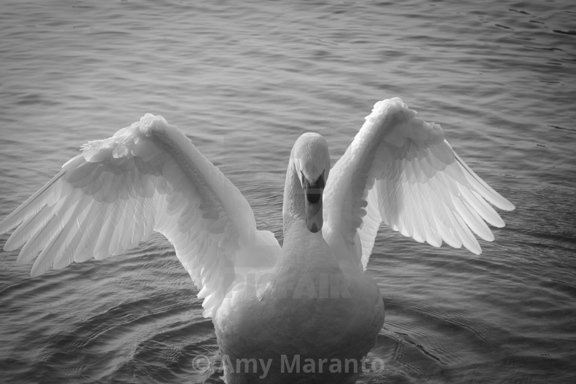 """Swan Stretch"" stock image"
