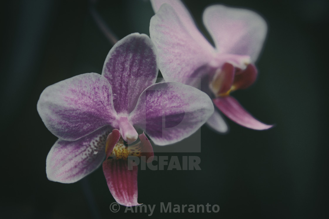 """Two Orchid Bloom, Dark"" stock image"