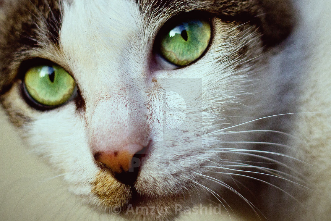 """Portrait of a Cat."" stock image"