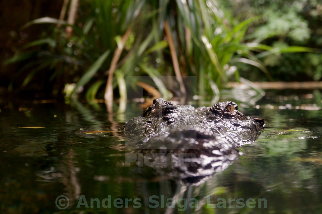 """Lurking Crocodile"" stock image"