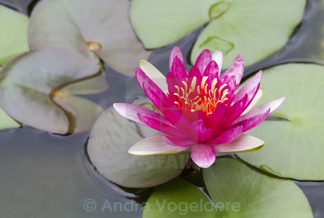 Lotus Flower In Bloom In Pond License For 2232 On Picfair