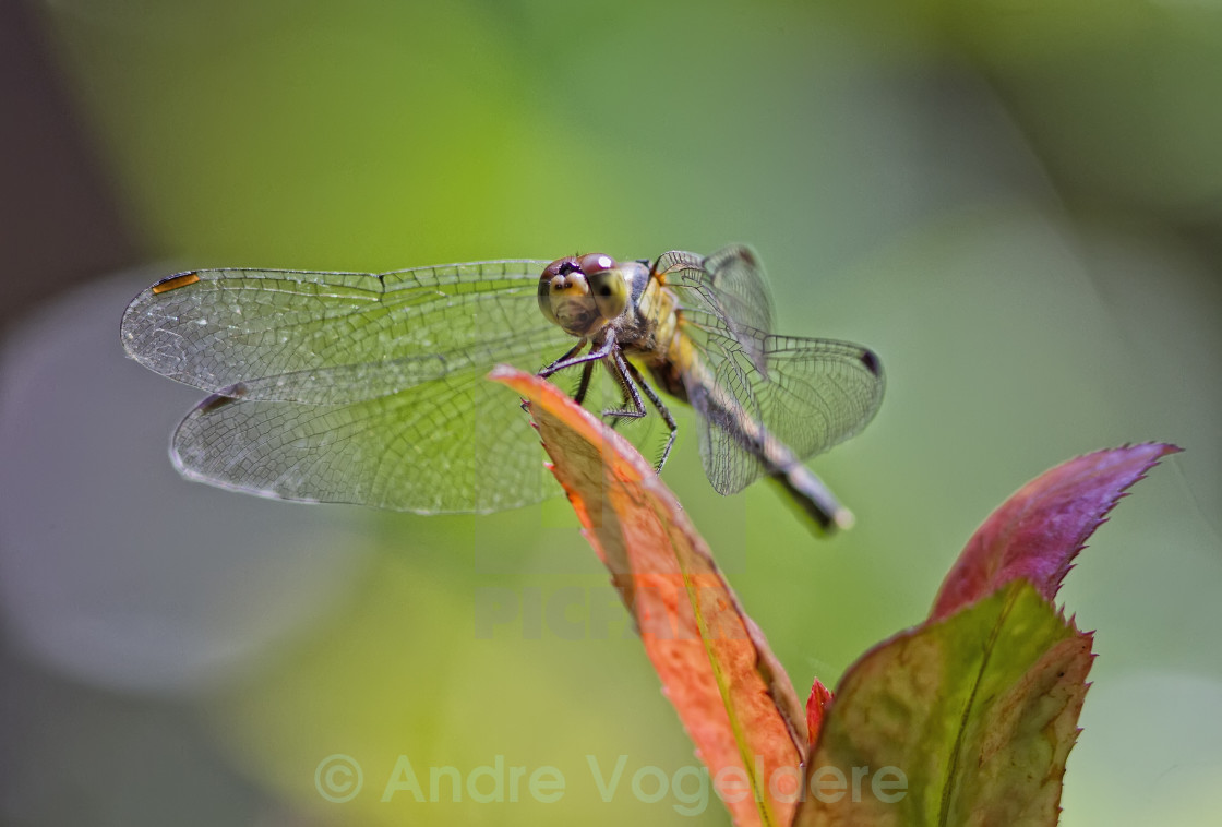 """Dragonfly on leaf."" stock image"