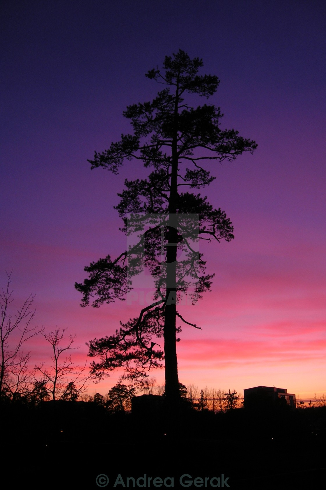"""Purple sky, pine tree"" stock image"