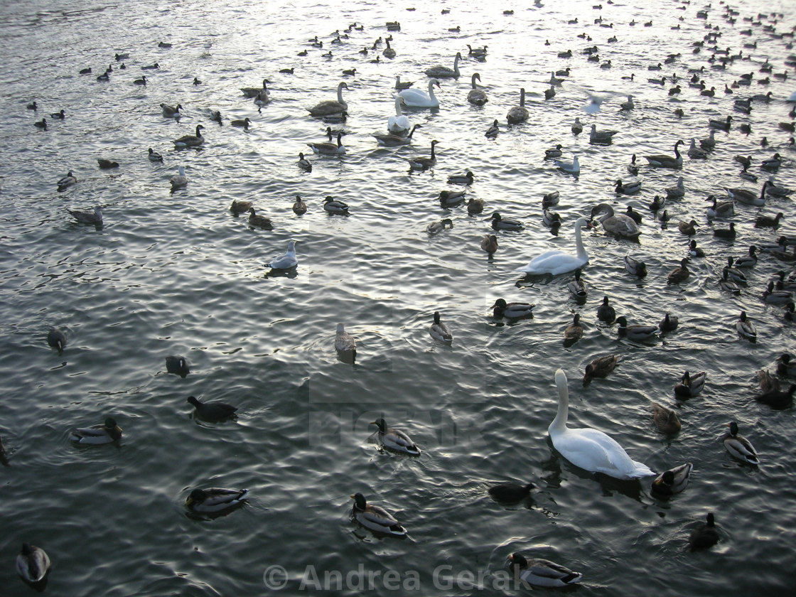 """Ducks and swans"" stock image"