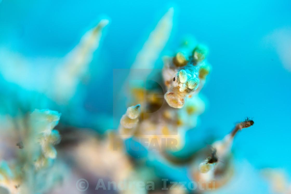 """Yellow Bargibanti Pigmy Sea Horse in Tulamben Bali"" stock image"