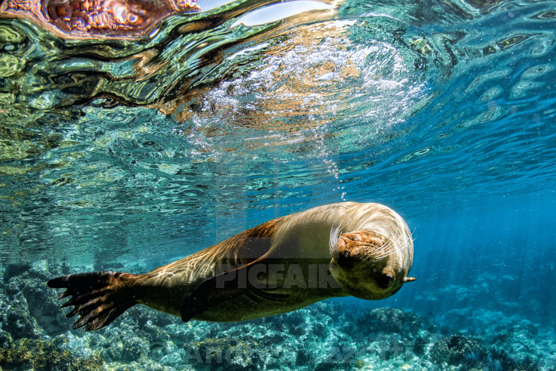 """sea lion seal coming to you underwater in baja california"" stock image"