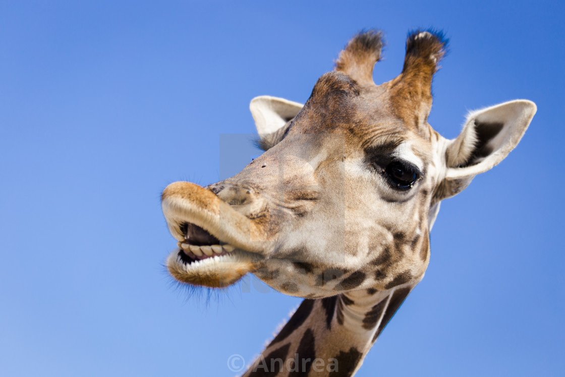 """A Smiling Giraffe"" stock image"