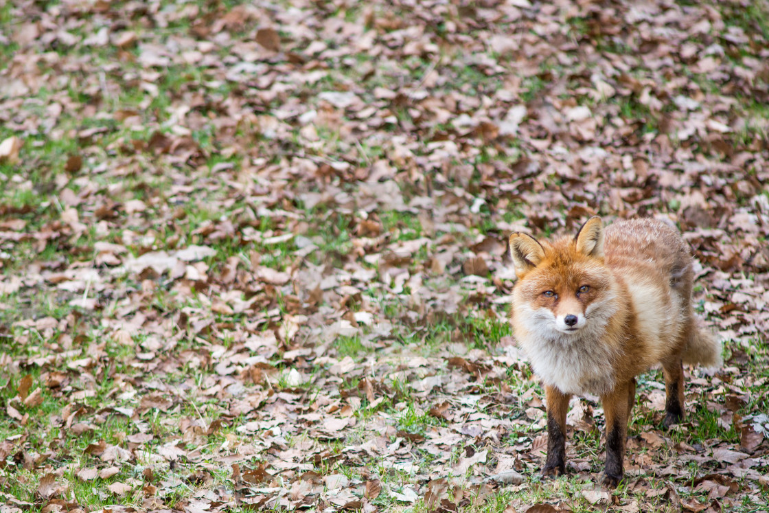 """Red fox, Vulpes vulpes"" stock image"