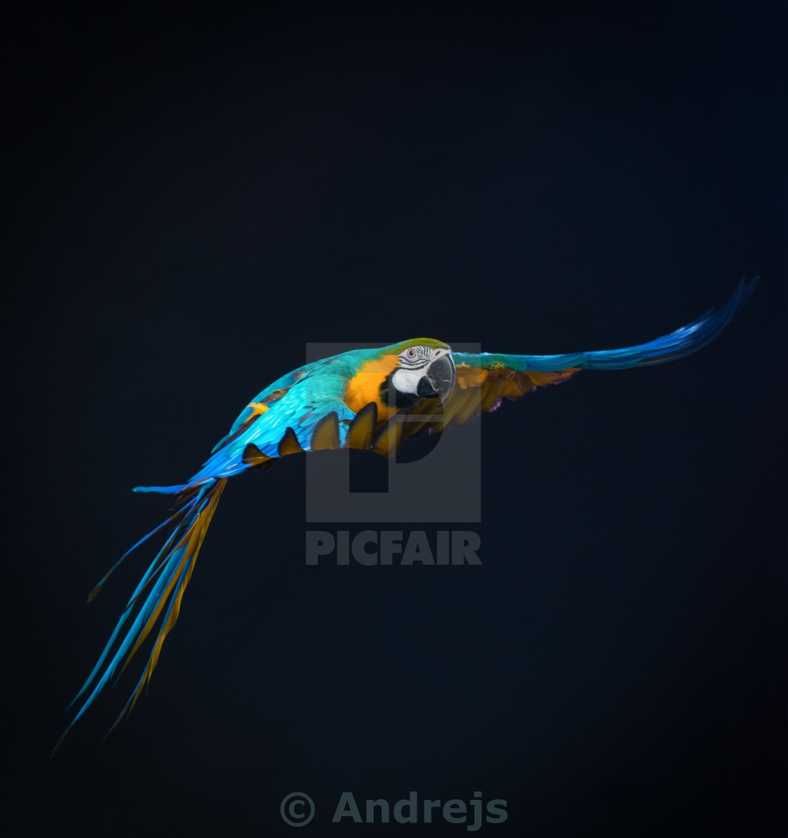 """Colourful flying Ara on a dark background"" stock image"