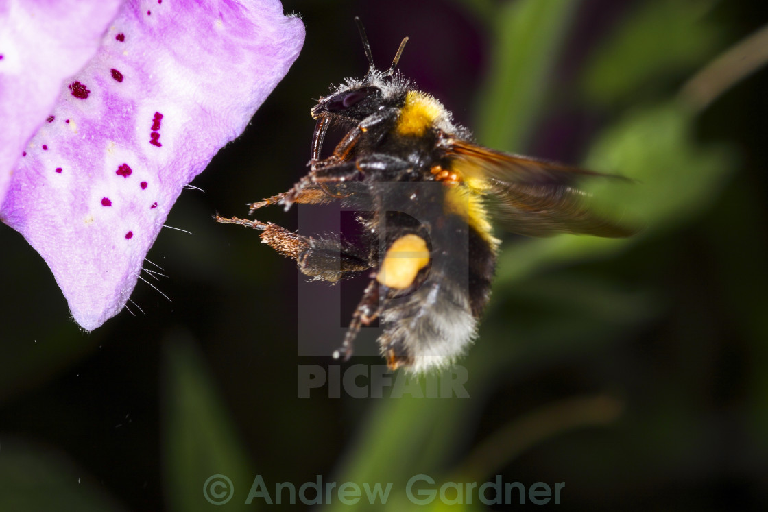 """Bee in flight"" stock image"