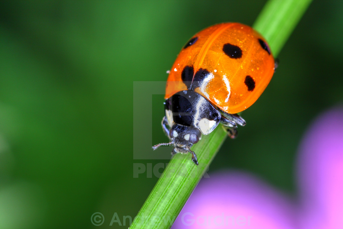 """Ladybird on a plant stalk"" stock image"
