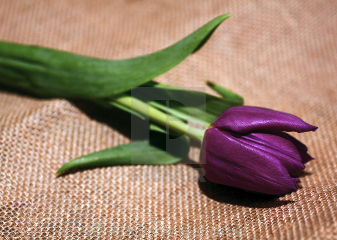 """Tulip on hessian"" stock image"