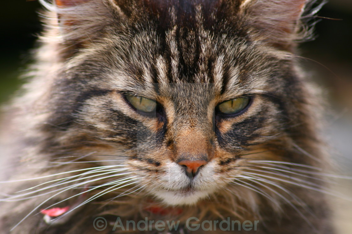 """Domestic tabby cat"" stock image"