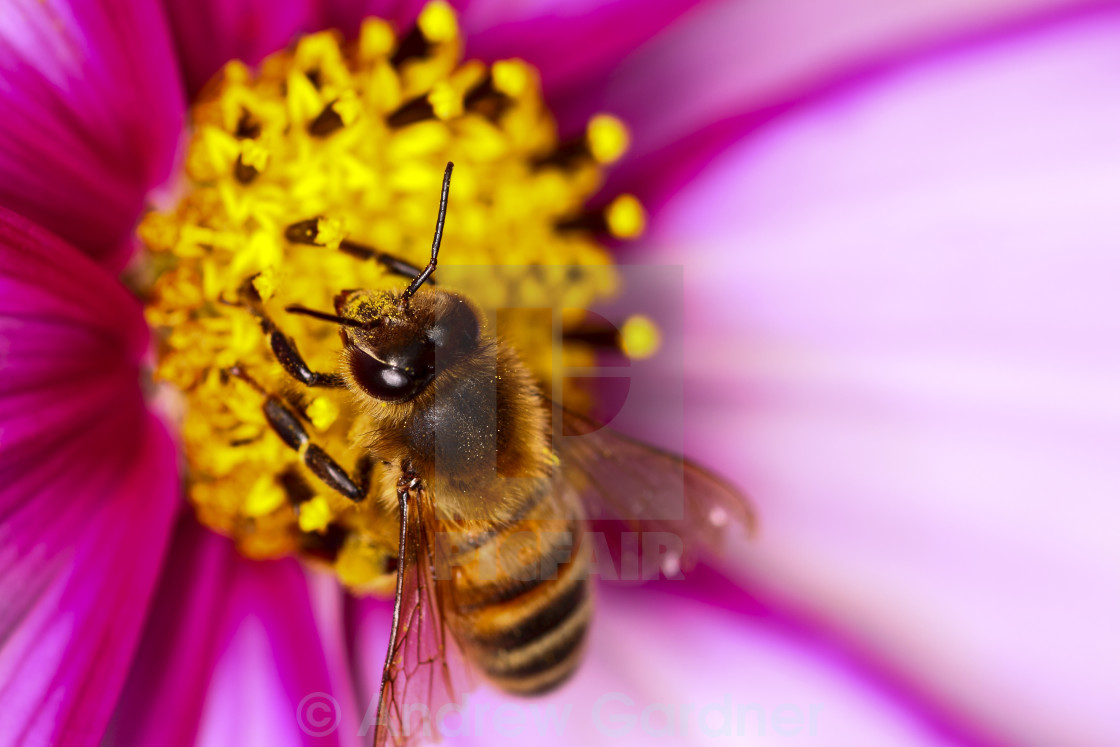 """Honey bee pollinating"" stock image"