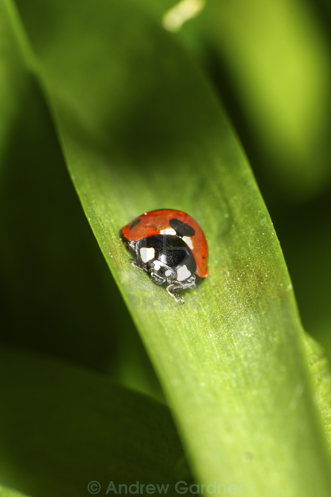 """Ladybird on plant leaf"" stock image"
