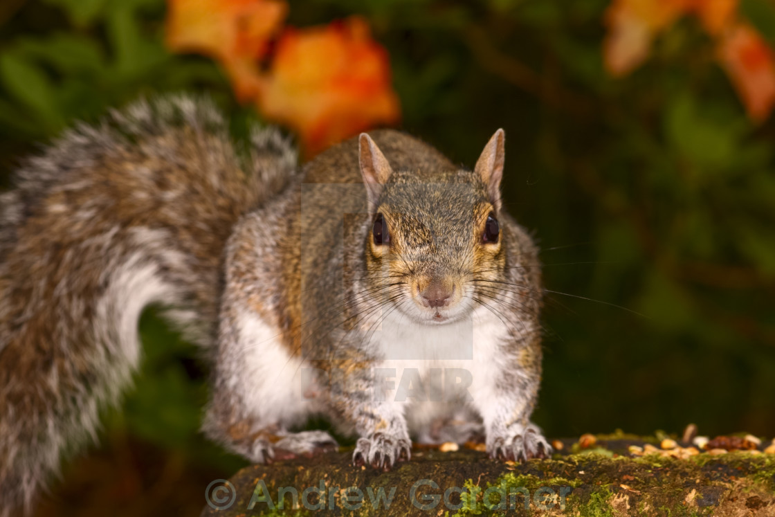 """Squirrel on a tree stump"" stock image"