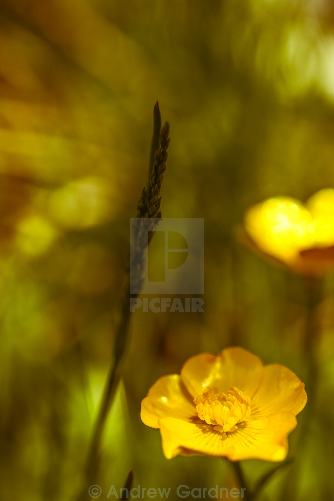 """Buttercup flowers"" stock image"