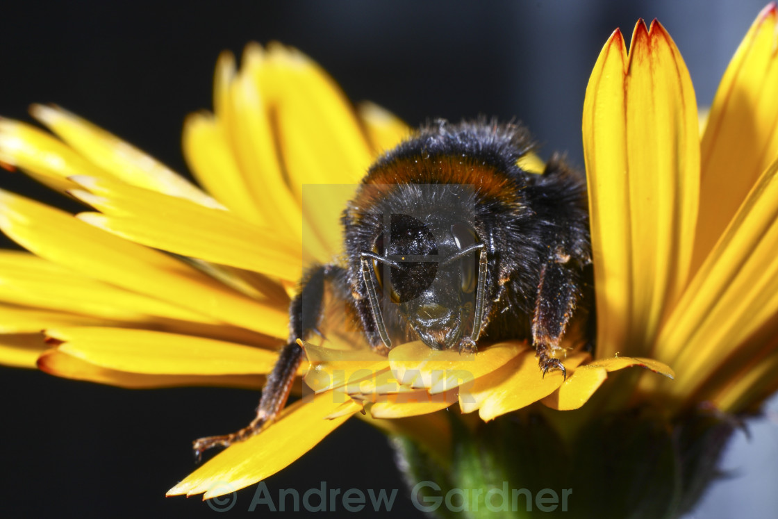 """Bee pollinating"" stock image"